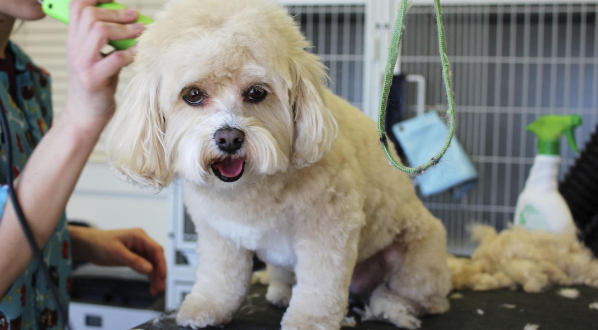 Curso de actualización para peluqueros caninos