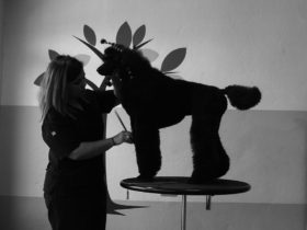Curso intensivo ininterrumpido de peluquería canina